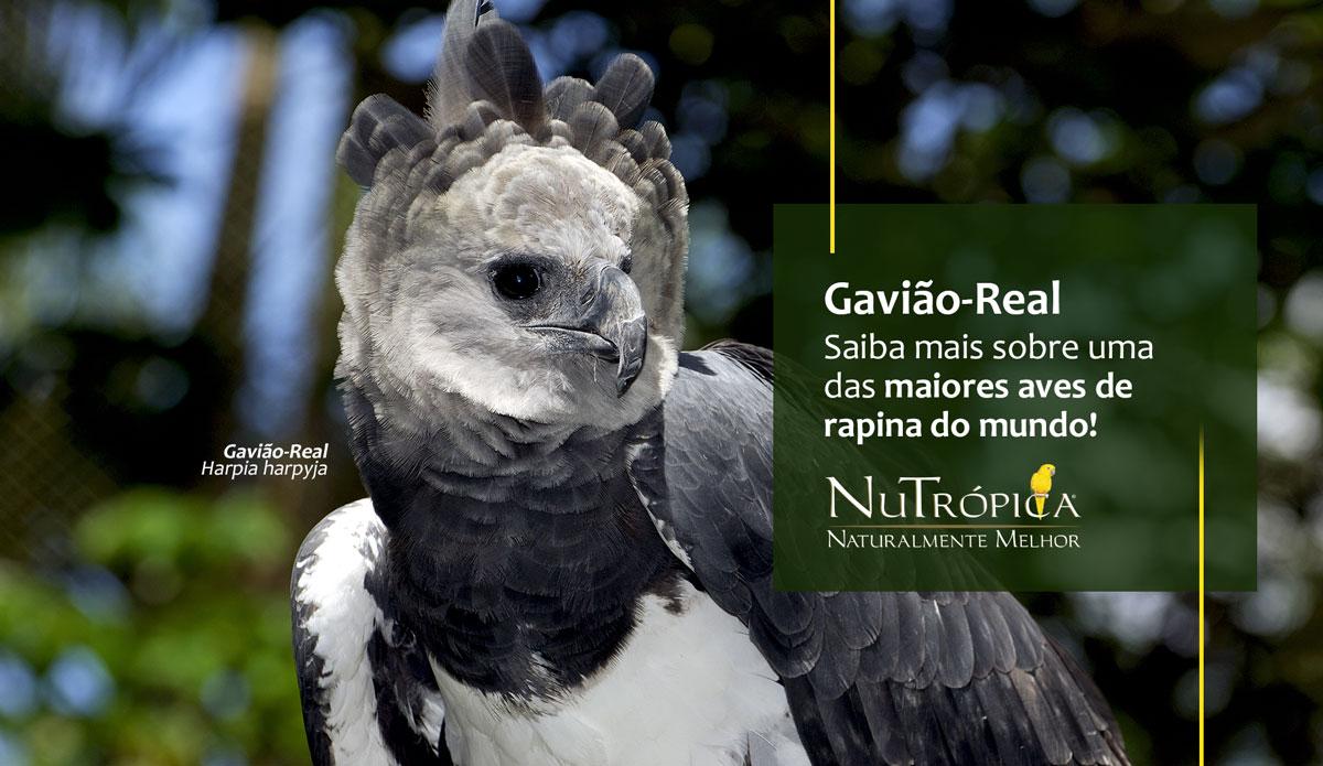Gavião-Real: Saiba mais sobre uma das maiores aves de rapina do mundo