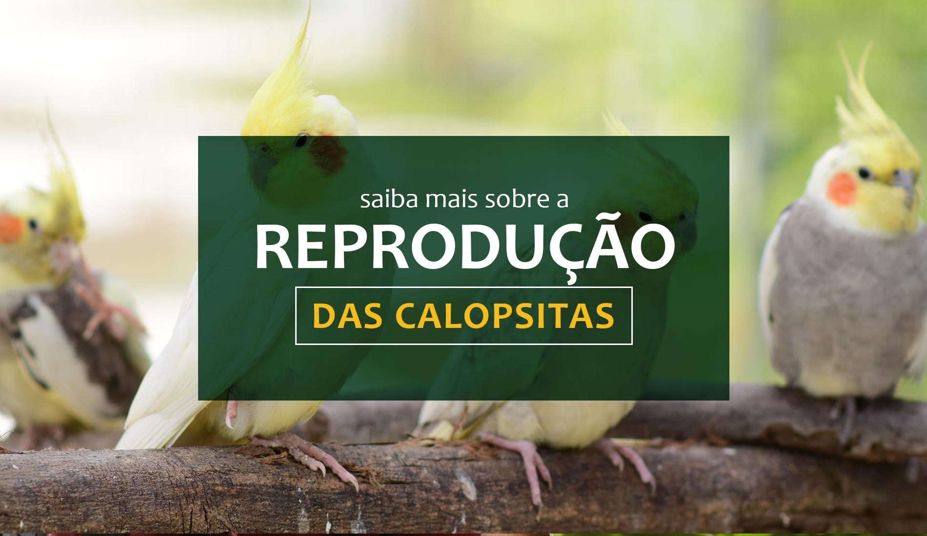 Saiba mais sobre a reprodução das Calopsitas