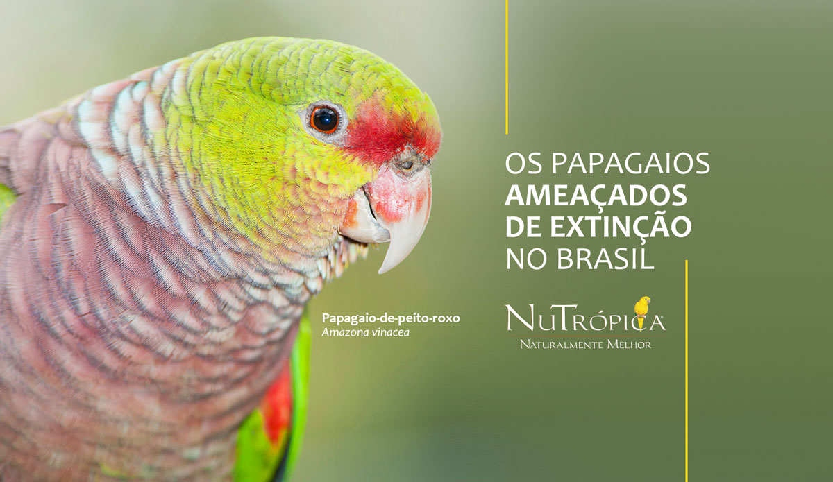 Saiba mais sobre os Papagaios ameaçados de extinção no Brasil