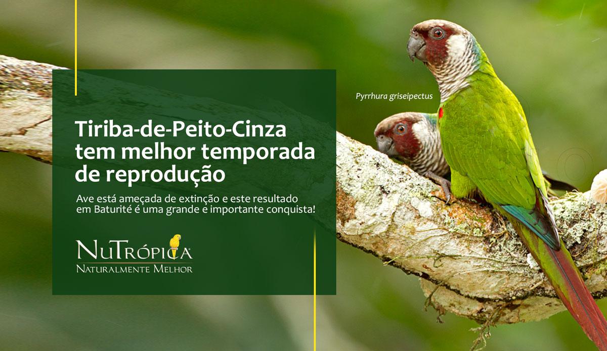 Tiriba-de-Peito-Cinza tem a melhor temporada de reprodução